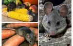 How to deal with mice in the country and the site