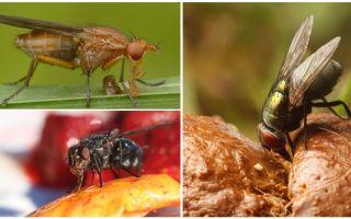 What flies eat