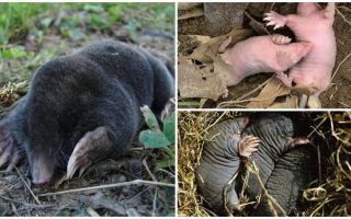 Description and photos of newborn moles