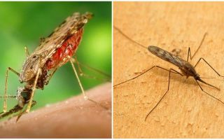 What do malaria mosquitoes look like and how dangerous they are for humans