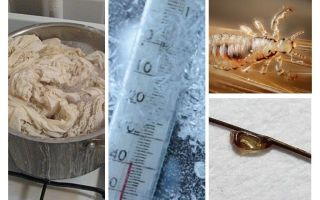 At what temperature do lice and nits die?