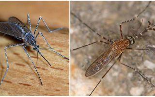Description and photos of mosquito species