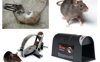 Traps for rats