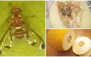 Description of a melon fly and methods of dealing with it
