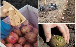 Than before planting process the potato from the Colorado potato beetle and wireworm