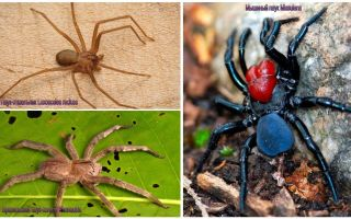 Description and photos of the most dangerous spiders in the world