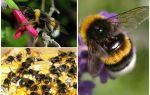 Description and photos of the earth bumblebee