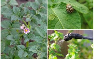 Is it possible to process potatoes from Colorado beetles during flowering
