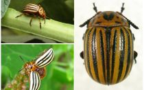 What does the Colorado beetle look like? Photo and lifestyle