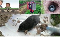 Fighting moles at the dacha folk remedies