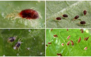 Description and photo spider mite