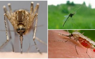 How mosquitoes see and what attracts them to a person