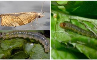 How to get rid of moths on currants