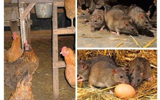 How to deal with rats in the hen house