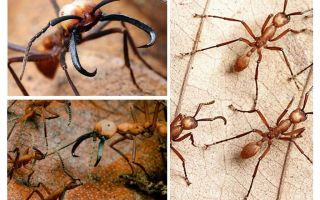The most dangerous ants in the world
