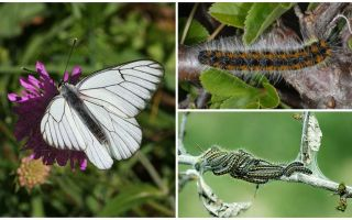 Description and photo of the caterpillar and butterfly Hawthorn how to fight