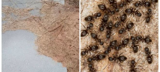 How to get rid of ants on the grave