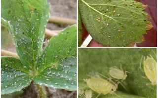 Methods of dealing with aphids on strawberries