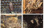 Methods of dealing with wax moth