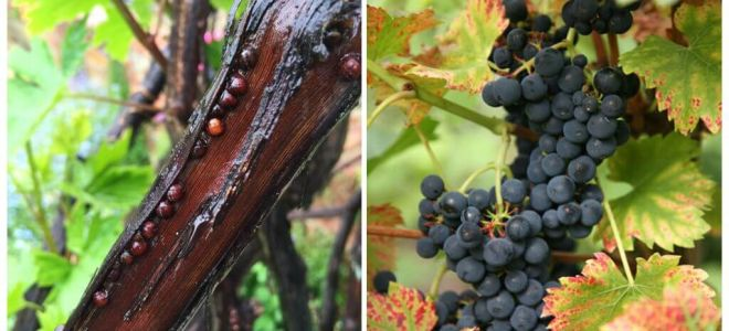 How to get rid of grapes on grapes