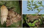 Description and photo of the caterpillar of the Gypsy Moth