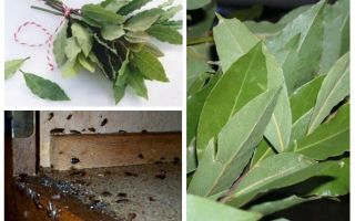 How to use bay leaf against cockroaches