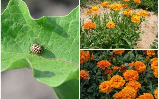 How to protect and protect eggplants from the Colorado potato beetle
