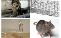 How to get rats out of a private house