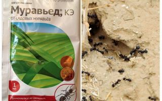 Ant remedy Anteater instruction and reviews