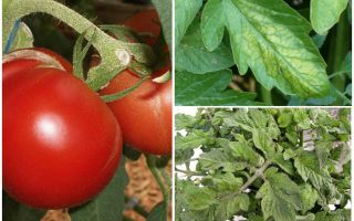 Aphids on tomatoes - what to process and how to fight