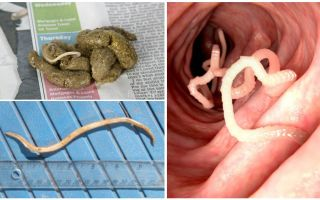 What do roundworms look like in human feces?