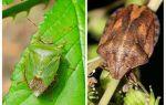 Whether homebugs or bedbugs smell