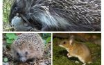 Hedgehogs eat mice