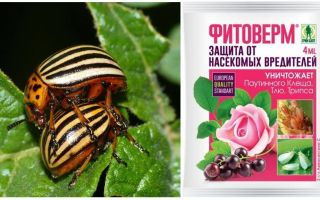 How to breed Phytoverm from the Colorado potato beetle