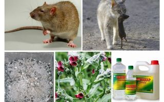 How to remove rats from the barn folk remedies