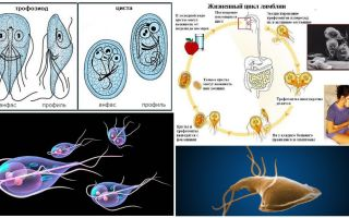 Life cycle of Giardia and treatment of cysts