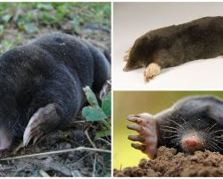 Looks like a mole - real photos and description
