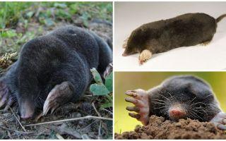 Looks like a mole - real photos and description