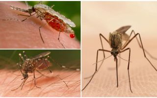 How many mosquitoes do you need to drink all the blood