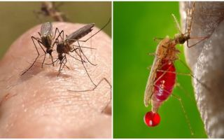 Where do mosquitoes come from