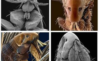 What fleas look like in the photo: their varieties and structural features