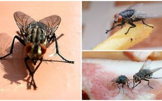 Why flies rub their paws