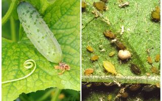 What and how to deal with aphids on cucumbers in greenhouses and open field