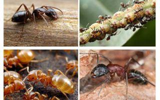 Garden ants harm and benefit