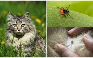 What to do and how to treat a tick in a cat or cat
