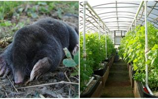 How to deal with moles in a greenhouse