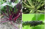 How to get rid of aphids on beets