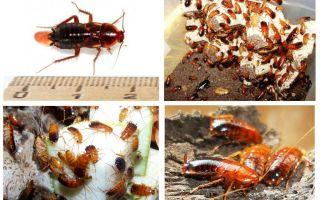 Features breeding Turkmen cockroaches