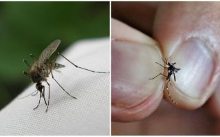 How to breed and how many mosquitoes live