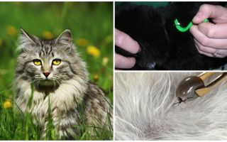 How to remove a tick from a cat or cat